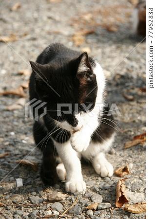 cat, pussy, stray cat 77962838