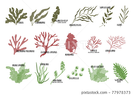 Big set of edible seaweeds. Brown, red and green algae. Sea vegetables. Vector flat illustration, isolated on white 77978373