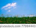 藍天 花朵 花 77994443