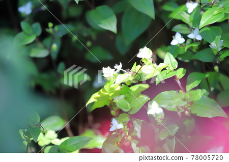 Tokiwa Tsuyukusa 花和纏繞的莖 78005720