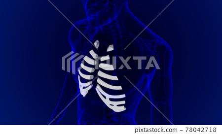 Human skeleton anatomy Costal Cartilage 3D Rendering 78042718
