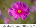 cosmos, cosmea, bloom 78090675