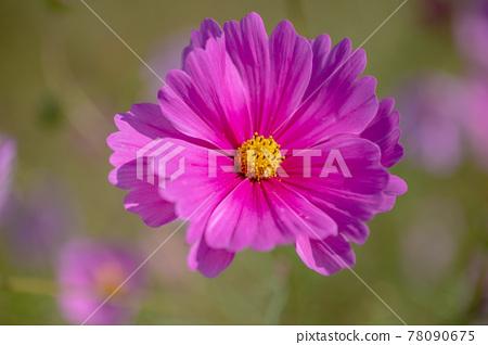 코스모스, 꽃, 플라워 78090675