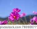 cosmos, cosmea, bloom 78090677
