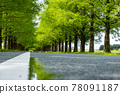 metasequoia, dawn redwood, tree-lined road 78091187