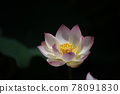water lily, water-lily, waterlily 78091830