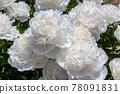 chinese peony, bloom, blossom 78091831