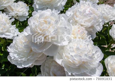 작약, 함박꽃, 꽃 78091831