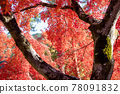 maple, yellow leafe, red leafe 78091832