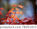 maple, yellow leafe, red leafe 78091833