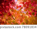 maple, yellow leafe, red leafe 78091834