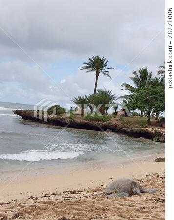 Wild sea turtles on the north shore 78271006