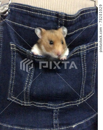 Golden hamster coming out of his pocket 78281029