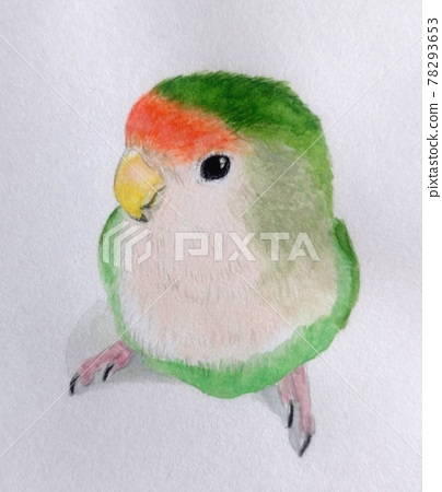 rosy-faced lovebird 78293653
