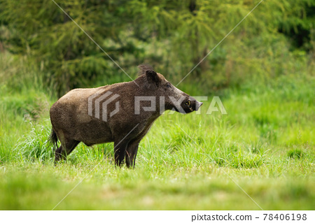 Adult wild boar with big snout standing in tranquil green forest 78406198