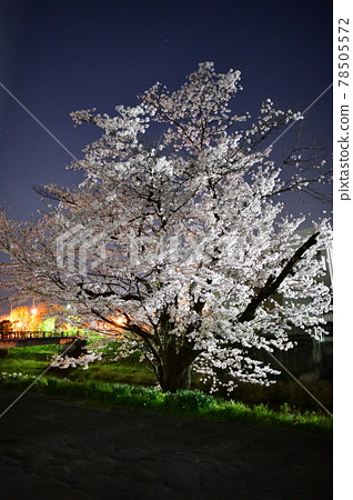 Cherry Blossoms 78505572