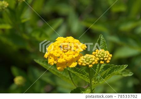 馬纓丹 各種變更 花朵 78533702
