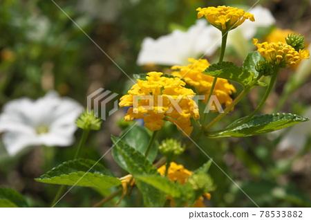 란타나, 꽃, 플라워 78533882