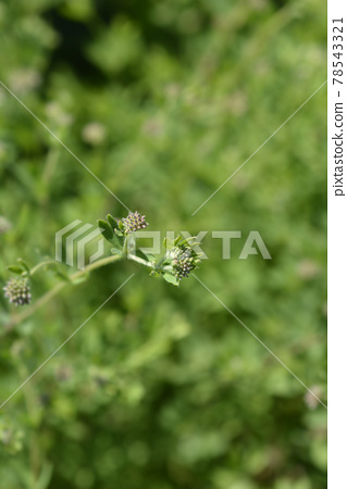 Herb canary clover 78543321