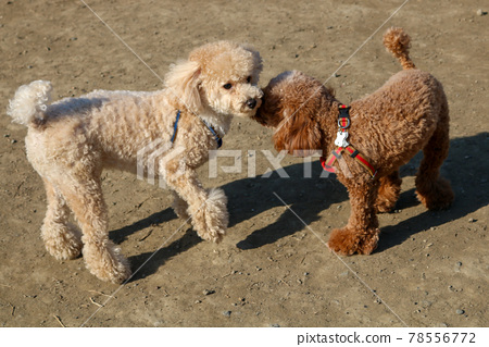 2 Toy Poodle 78556772