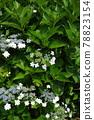 수국, 자양화, 꽃 78823154