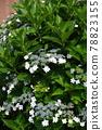 수국, 자양화, 꽃 78823155
