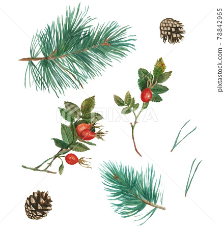 Watercolor set of pine branches, pine cone, dog rose branches and berries. Hand drawing and painting.  78842965