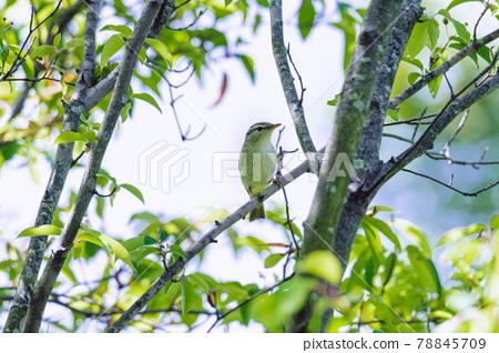 Yellowish warbler 78845709