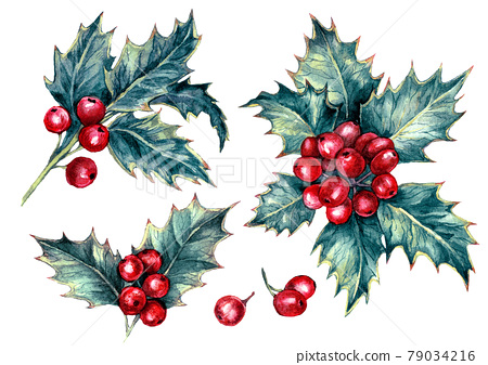 Watercolor Illustration of Holly Berries Plant Isolated on White 79034216