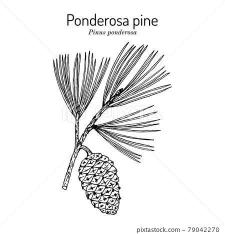Ponderosa pine or western yellow-pine pinus ponderosa , state tree of Montana 79042278