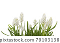 White muscari flowers on white background 79103138