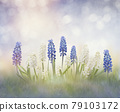 Blue and white muscari flowers 79103172