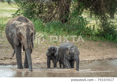 非洲大象群在塞倫蓋蒂國家公園 79103917