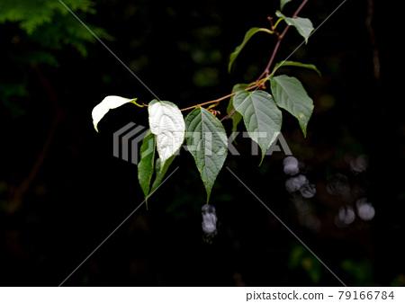 Actinidia polygama leaf bleaching phenomenon 79166784