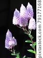 Petit Lotus flowers 79177168