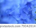 Hydrangea after the rain 79342014