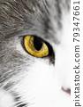 Yellow eye of a cat 79347661