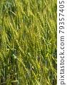 Wheat field near harvest 79357405