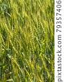 Wheat field near harvest 79357406