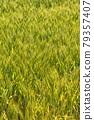 Wheat field near harvest 79357407