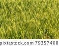 Wheat field near harvest 79357408