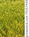 Wheat field near harvest 79357409