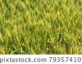 Wheat field near harvest 79357410