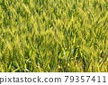 Wheat field near harvest 79357411
