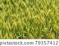 Wheat field near harvest 79357412