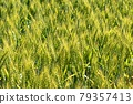 Wheat field near harvest 79357413