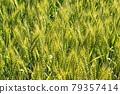 Wheat field near harvest 79357414