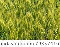 Wheat field near harvest 79357416