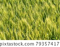 Wheat field near harvest 79357417