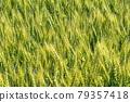 Wheat field near harvest 79357418